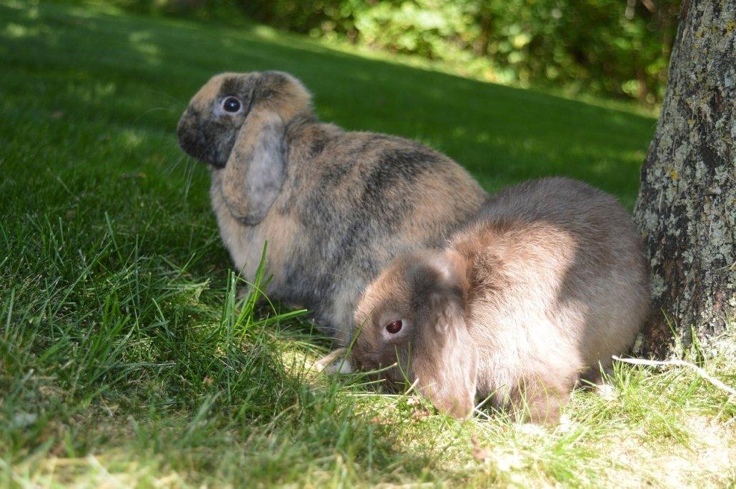 Il coniglio è un animale socievole e vuole compagnia