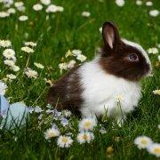 Zoonosi del coniglio nano: malattie e vaccini consigliati