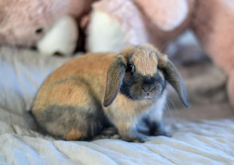 Come gestire il cucciolo di coniglio nano in casa