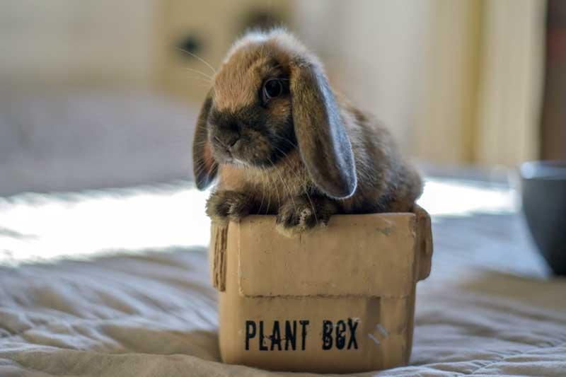 Come educare un coniglio ariete nano in casa