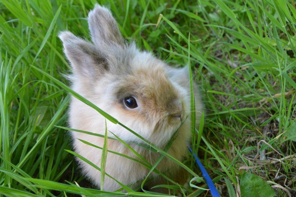 Coniglio nano: come gestirlo quando arriva a casa