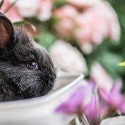 Coniglio nano: quale razza scegliere ?