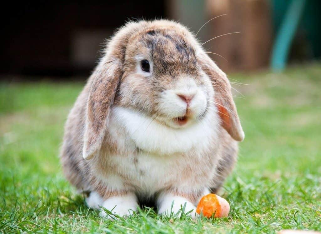 Come curare e prevenire le malattie dei conigli nani